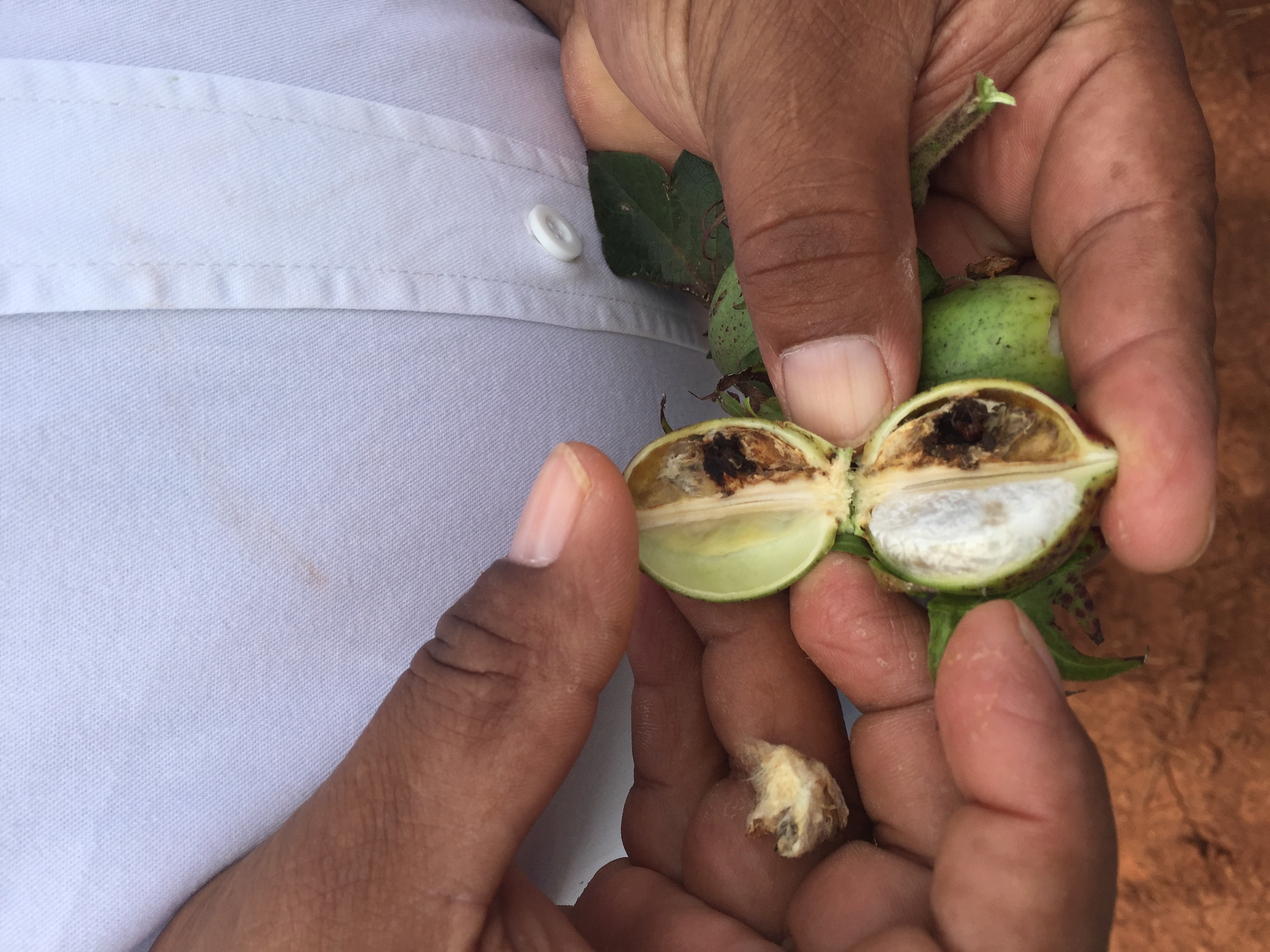Cotton Damage From Boll Weevils