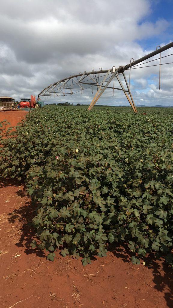 Parcela de algodón en Paranapanema